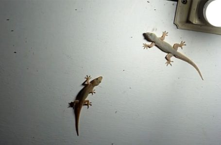 How to get rid of gecko at home