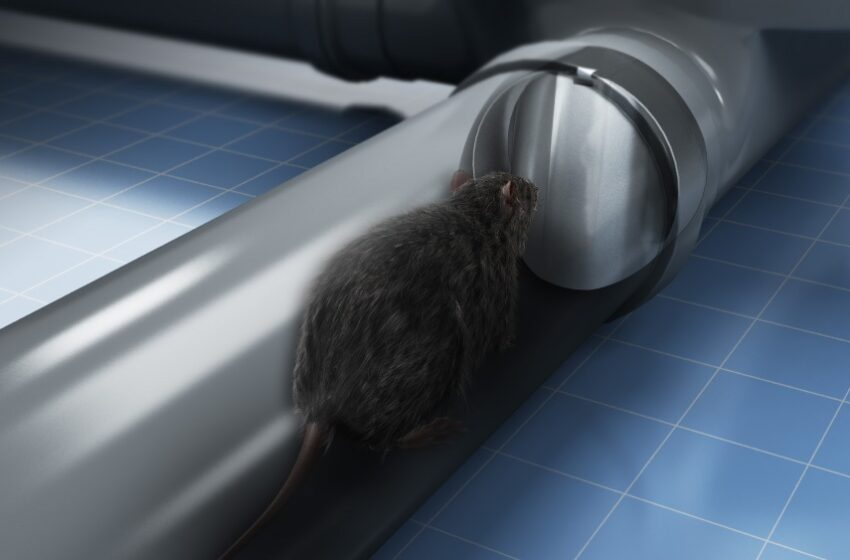 Rats Are the Insects that Can Drain Your Pipe- How to Keep Them Away?